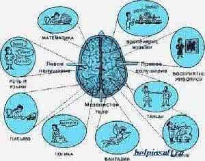 функции полушарий мозга