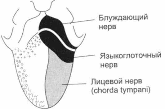 Симптомы и лечение блуждающего нерва