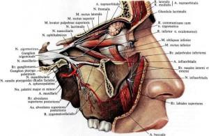 Расположение черепных нервов