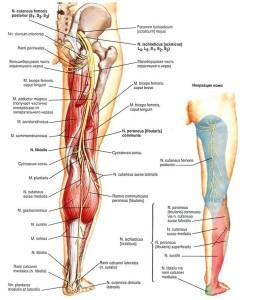 нервы ноги человека